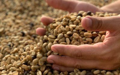 Arabica kávé vagy Robusta kávé, melyiket választja?
