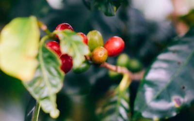 Kávébab: így terem, és így fogyasztjuk